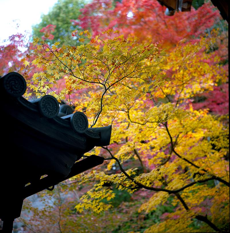 東山の紅葉|ROLLEIFLEX 2.8F + KODAK PORTRA 160