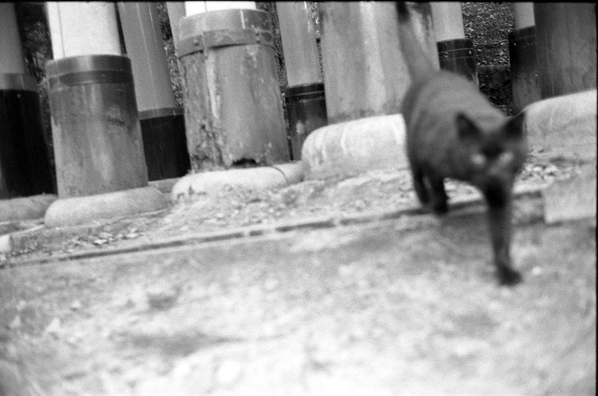 京都の猫がやってきた|LEICA M5 + SUMMILUX 35mm F1.4 + Kodak TRI-X 400