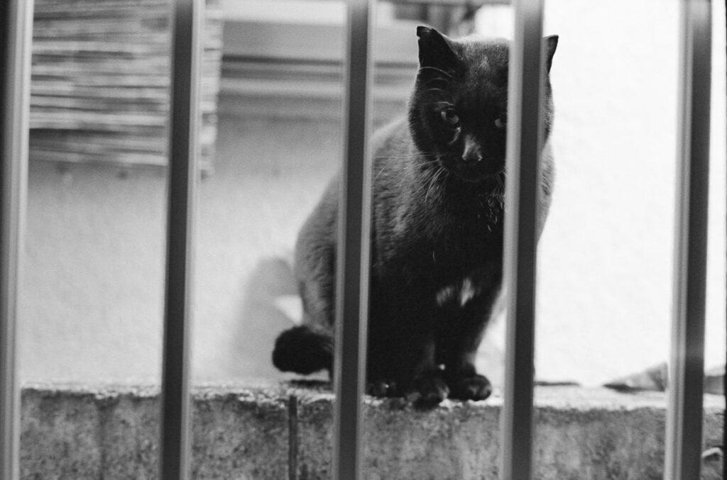 外猫だったころの黒猫君|Leica M3 + C Sonnar T* 1.5/50 ZM