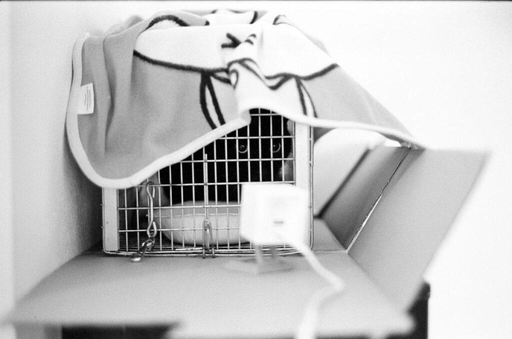 人間の策略にハマってしまった黒猫君|Leica M3 + C Sonnar T* 1.5/50 ZM