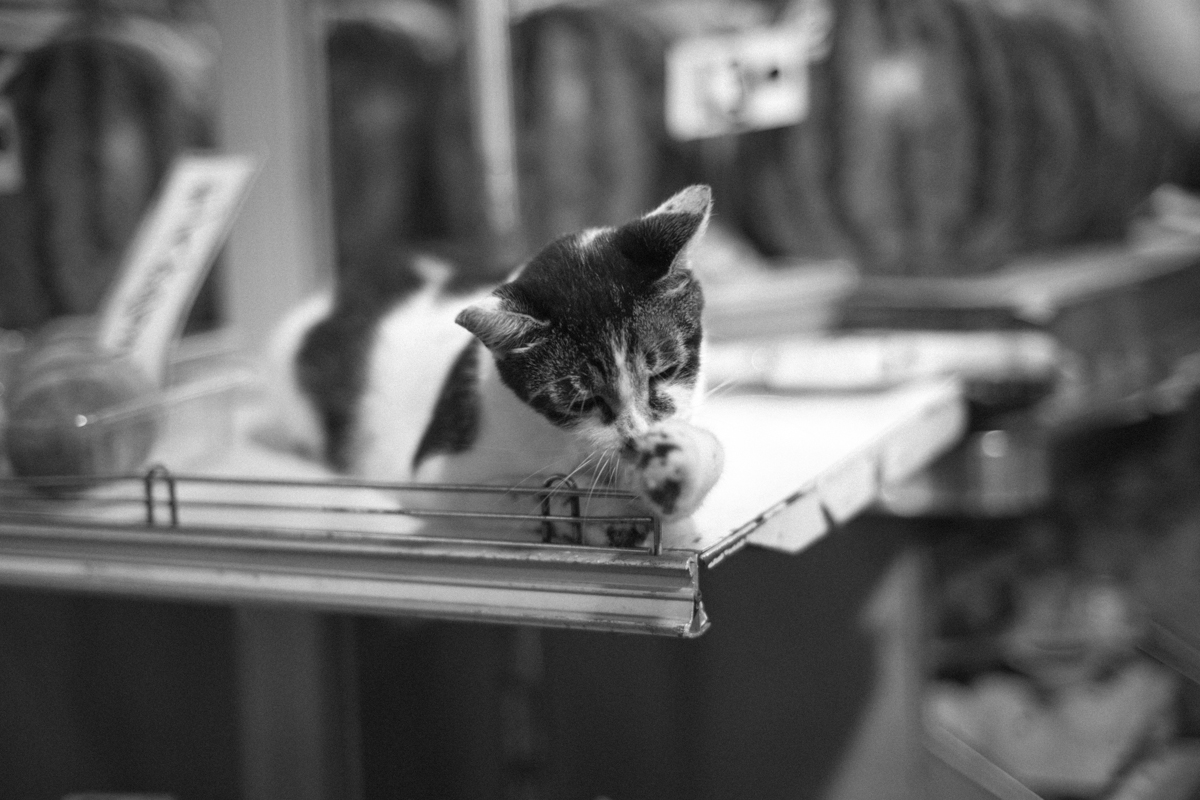 写真慣れしているネコ|Leica M10 + C Sonnar T* 1.5/50 ZM