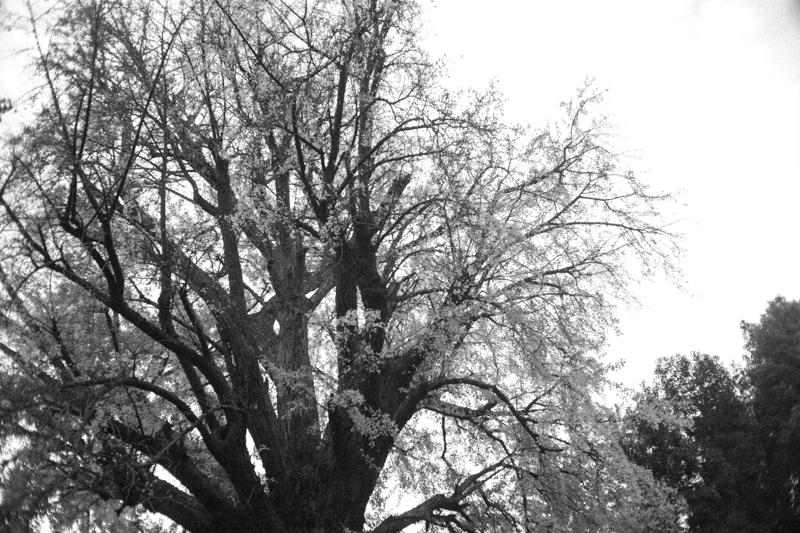 銀杏が満開?|Leica M10 + Canon 35mm F1.5