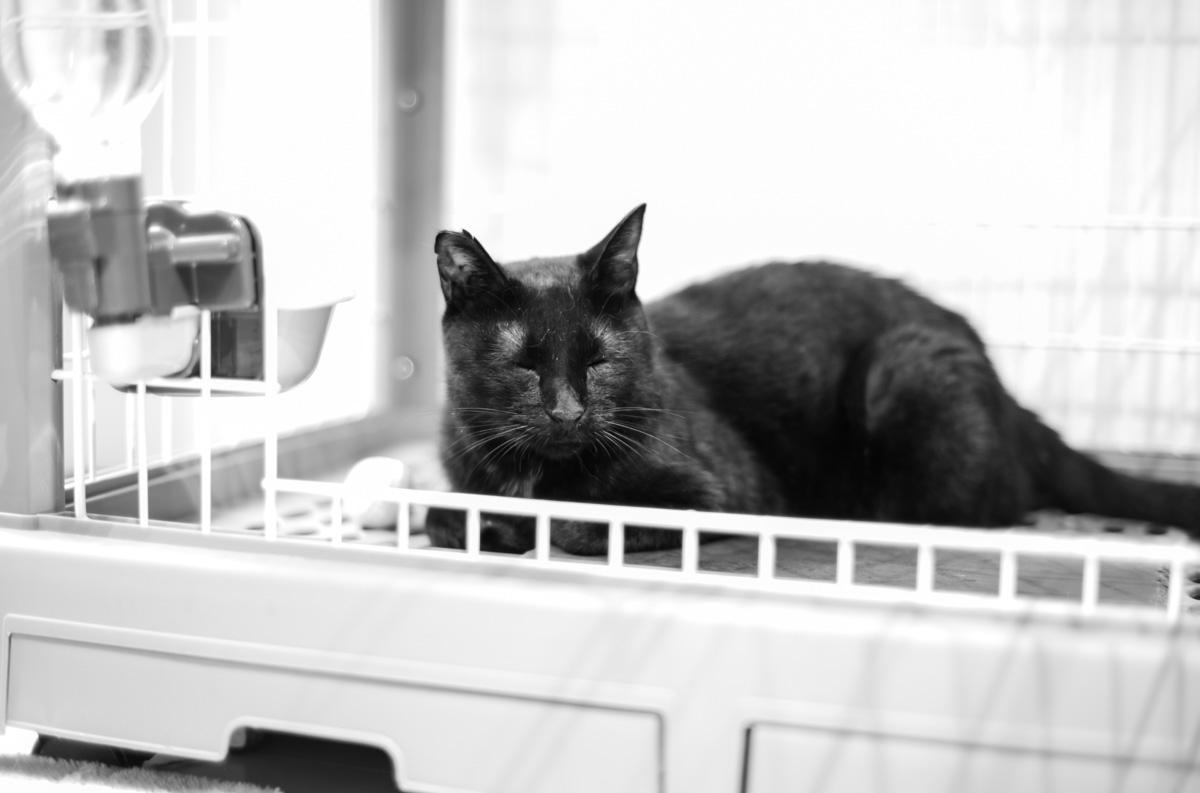 人間を怖がらなくなってきた黒猫氏 Leica M10 Monochrom + C Sonnar T* 1.5/50 ZM