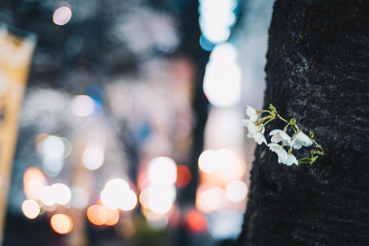 渋谷の飲み屋街に桜並木|Leica M10 + C Sonnar T* 1.5/50 ZM