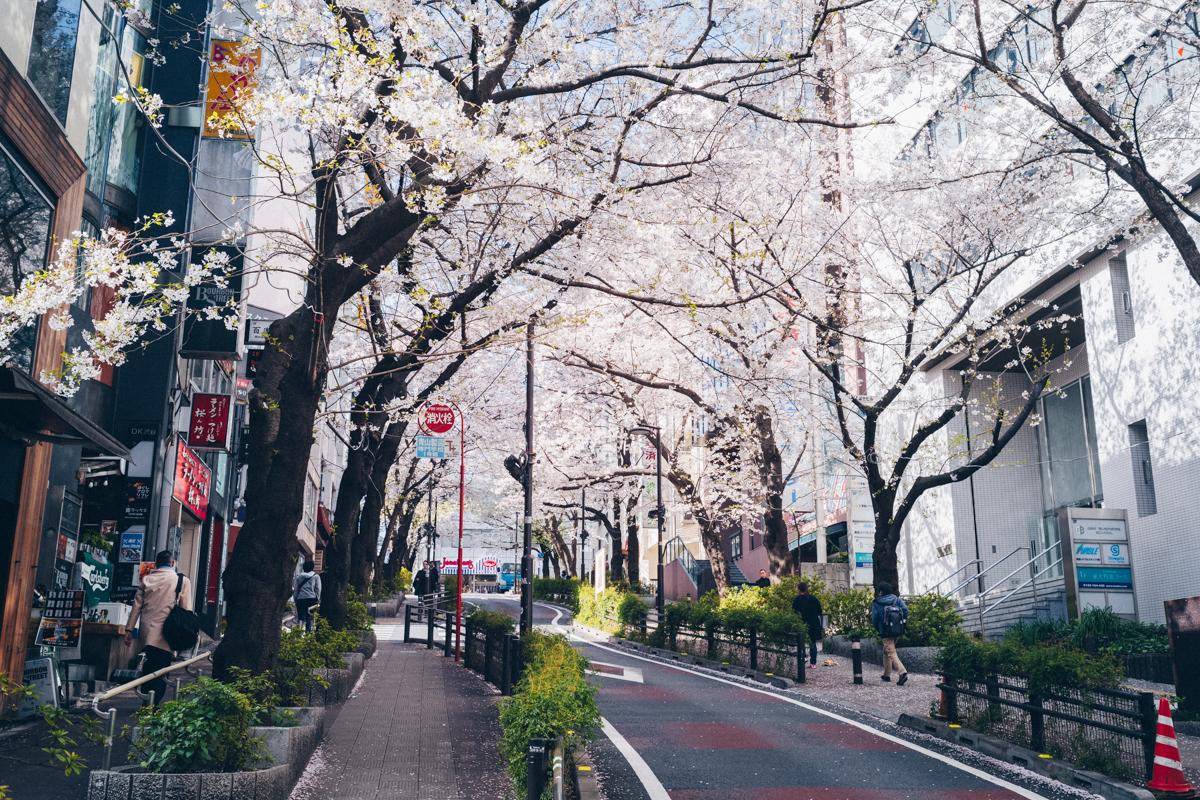 昼に見ても桜は見事できれい|Leica M10 + Summilux 35mm f1.4