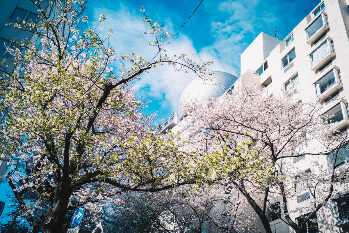あっという間に葉桜が増えてきました|Leica M10 + Summilux 35mm f1.4