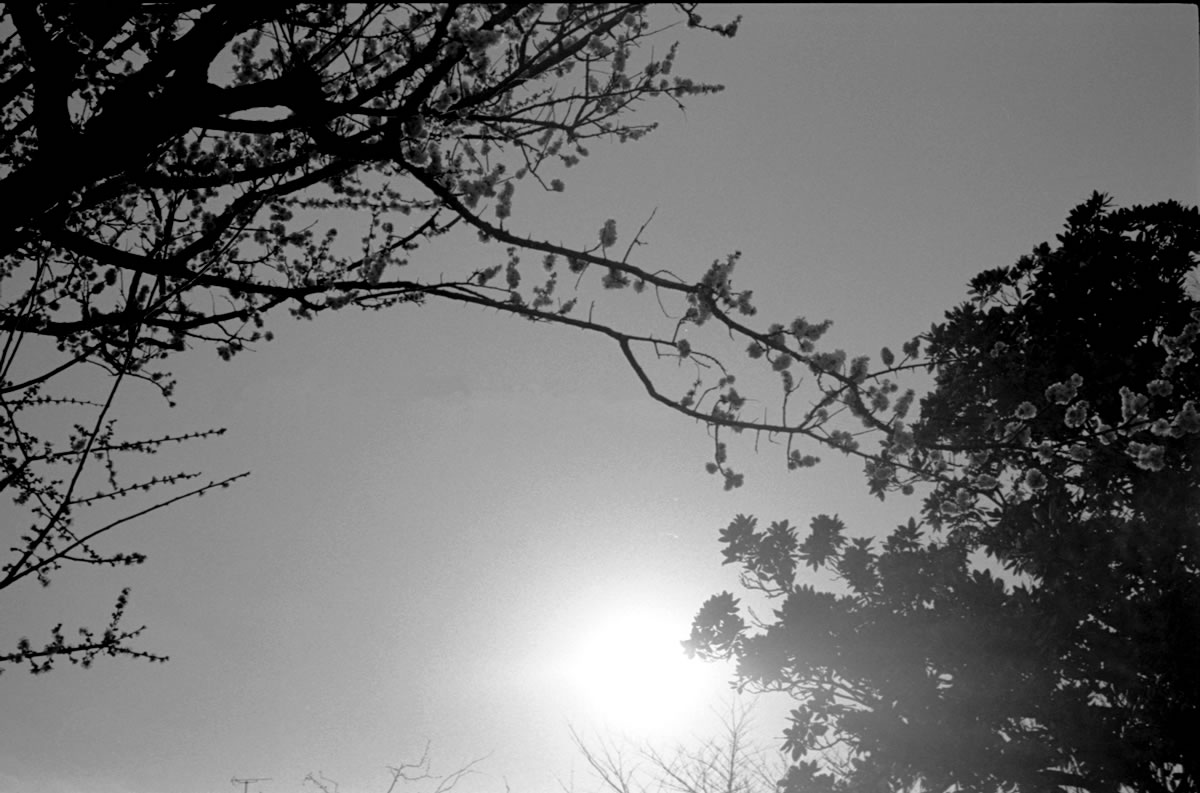 これ桜・・・かな? 梅か別の花かもしれない Leica M3 + Summilux 35mm f1.4 + KODAK PROFESSIONAL TRI-X
