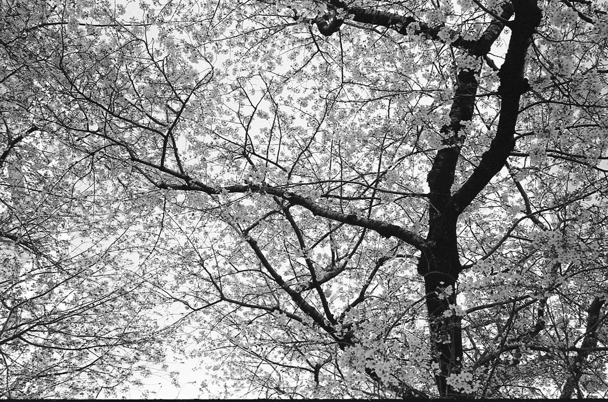 これは間違いなく桜丘町の桜 Leica M3 + C Sonnar T* 1.5/50 ZM + KODAK PROFESSIONAL TRI-X