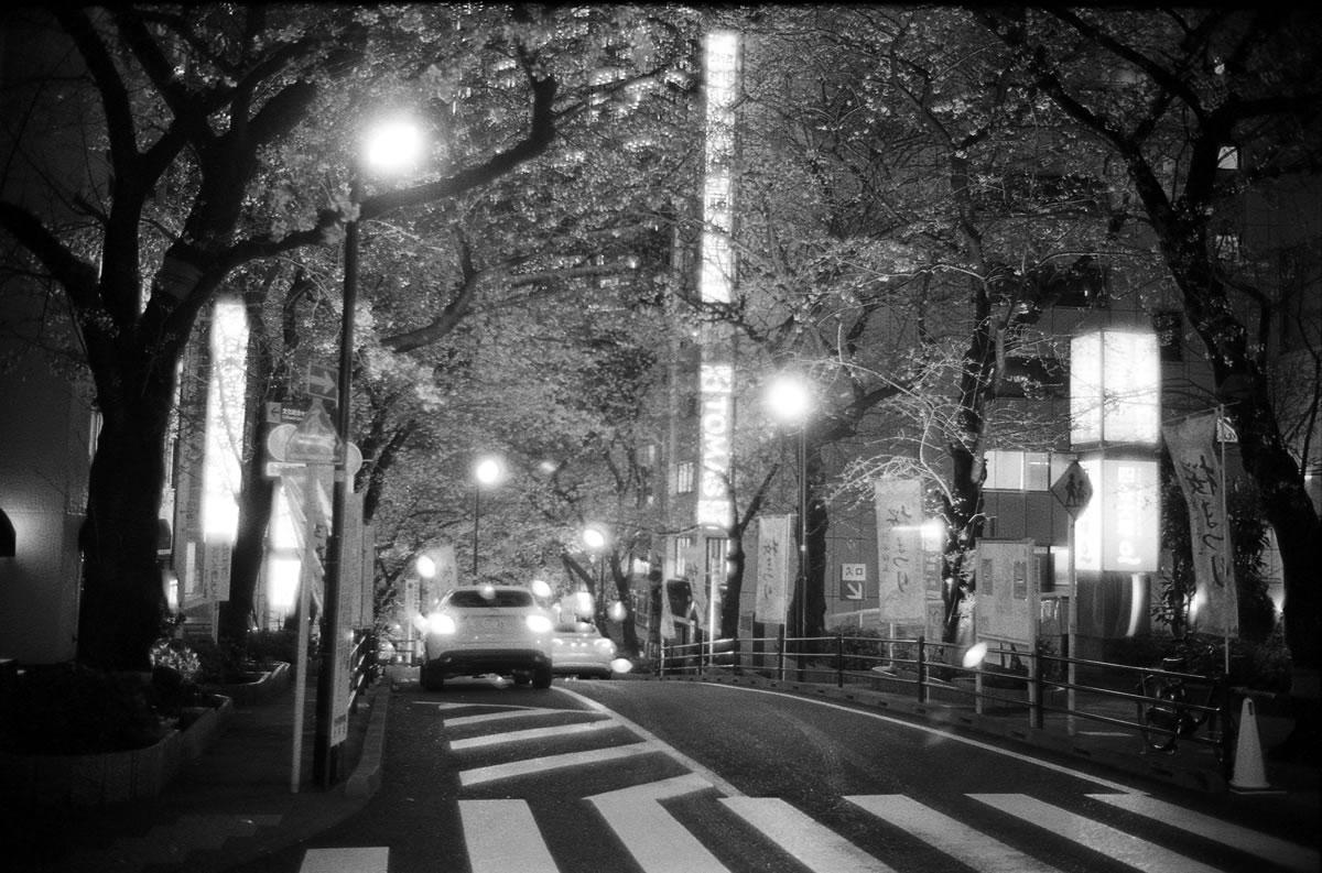 満開の桜 Leica M3 + Summilux 35mm f1.4 + KODAK PROFESSIONAL TRI-X